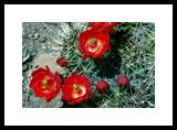 Claret Cup Cactus - Framed